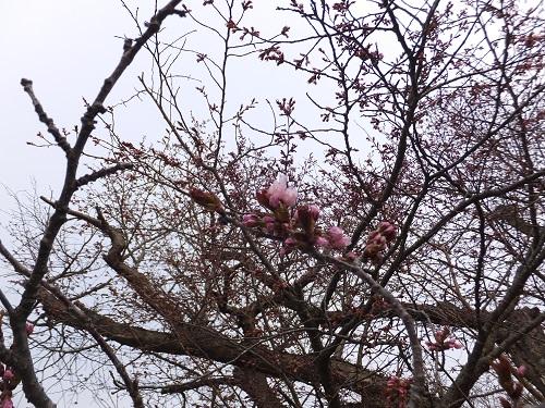 桜の開花!